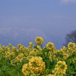 滋賀県守山市菜の花畑