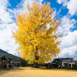 丹生酒殿神社の大イチョウの紅葉