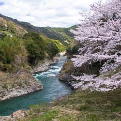 有田川、明恵峡温泉下の桜