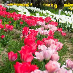 日高川沿いのチューリップと桜